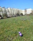 Crocuses at Brunswick Square lawns