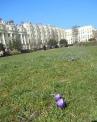 Crocuses at Brunswick Square lawns