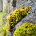 Moss growing on stone wall